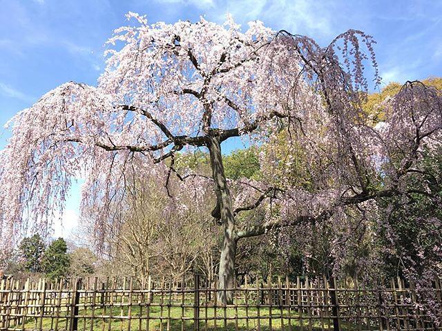今日も京都市内をぐるぐると。春だ。