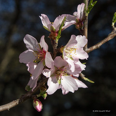 almond blossoms 6086