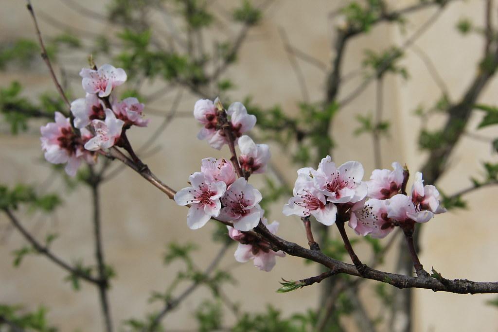 Blossom, Chapel of Sant Francesc, Olot