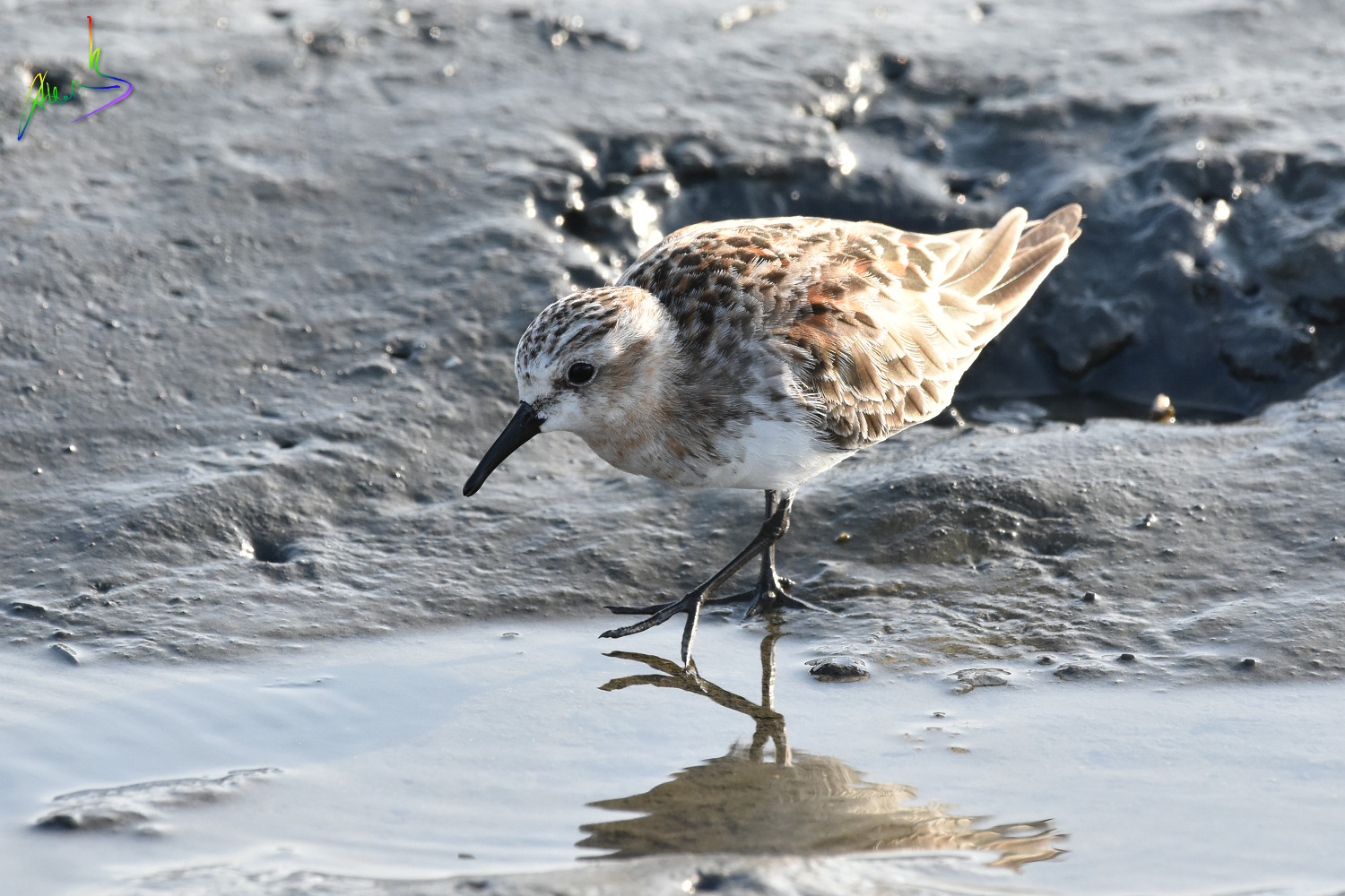 Red-necked_Stint_1653