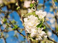 Apfelblüte_018