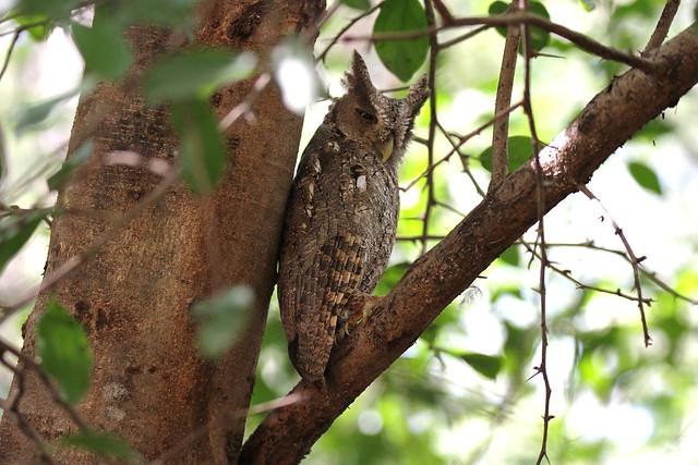 Pacific Screech Owl / petit-duc de Cooper