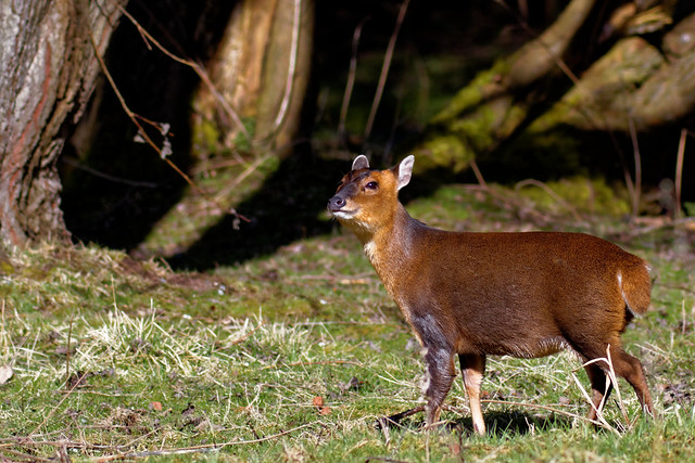 Doe Muntjac...taken today with the help of this rare commodity called the sun! :-)