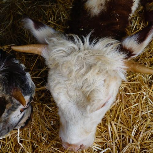 Dexters, Mary Arden's Farm, Wilmcote