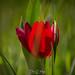 Tulipa Cypria VI