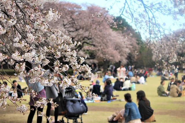 shinjukugyoen-sakura0323009