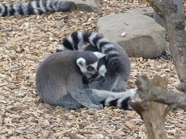 Katta, Zoo Duisburg