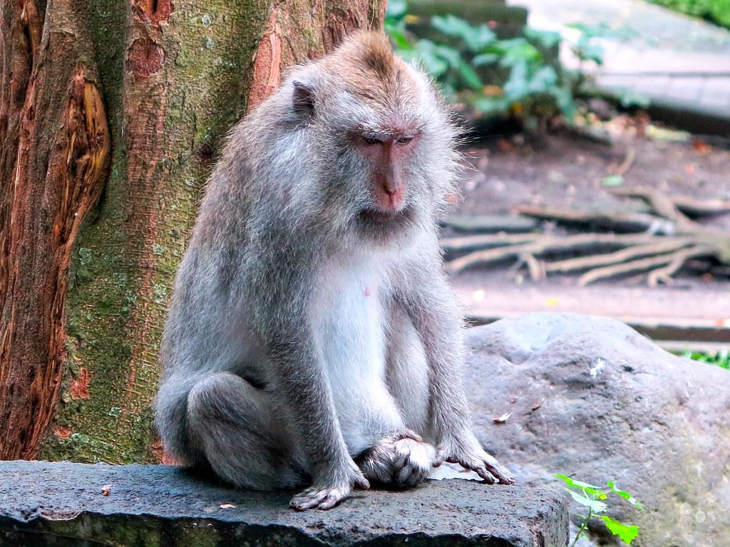 Mono en Ubud