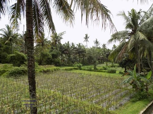 asia asean seasia indonesia indonesian java javanese eastjava jawatimur blitar panataran tree rice field agriculture canadagood 2017 thisdecade color colour green archaeology