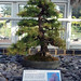 European Larch Bonsai, Kew Gardens, August 2017 (2)