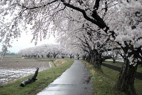 桜の花、舞い上がる道を 2018 2