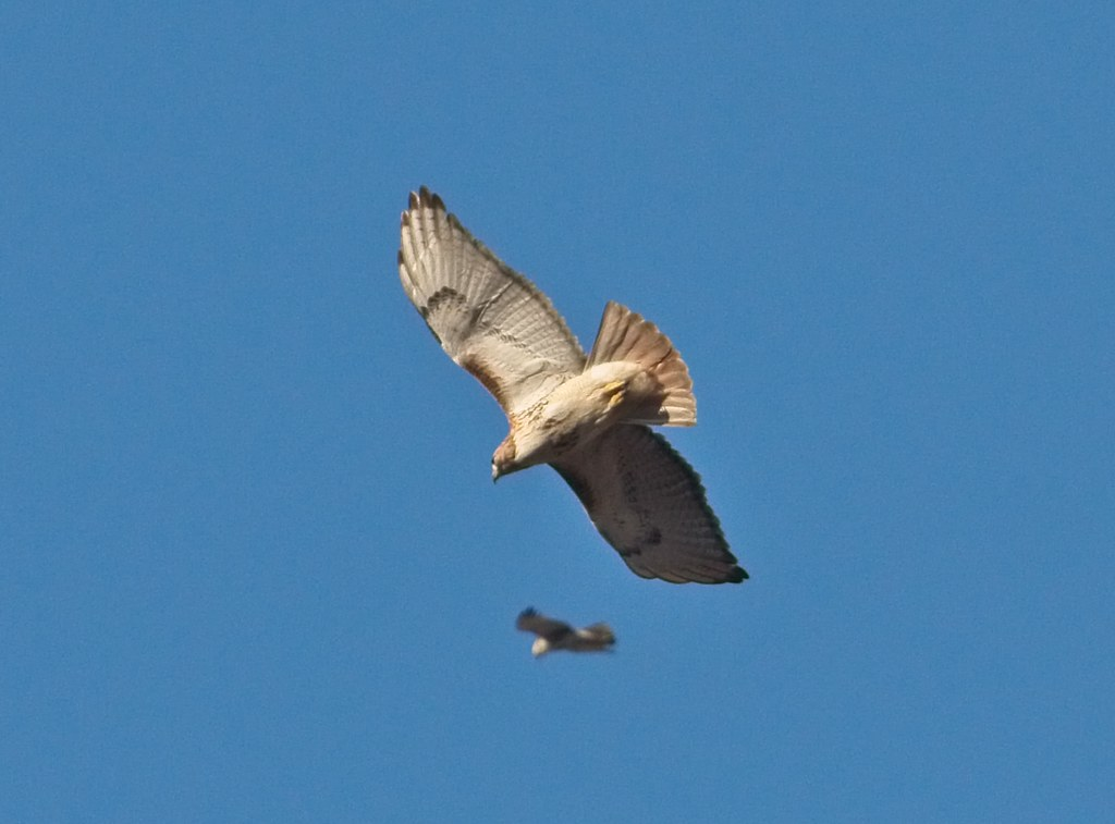Christo with an intruder hawk