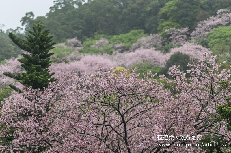 台北平菁街93巷內厝溪櫻木花廊,滿開的粉嫩櫻花小秘境,喜歡粉色系的朋友可別錯過,一起賞花、拍照、打卡趣