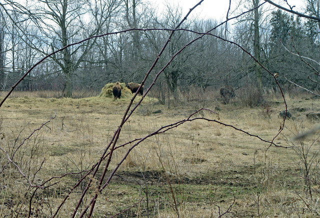 Bison at Mountsberg Conservation Area