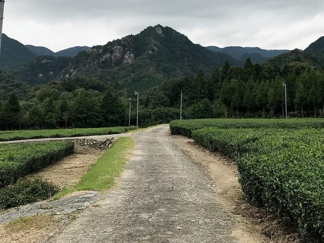 仙ヶ岳 林道 茶畑
