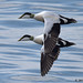 eider 1 2018 males in flight