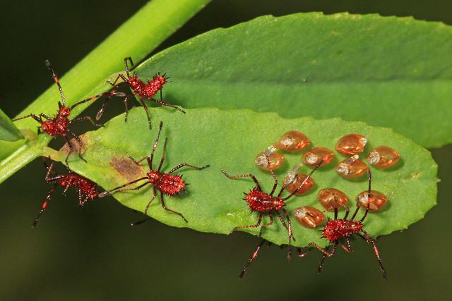 Leaf-footed Bug nymphs, Patuxent National Wildlife Refuge, Laurel, Maryland