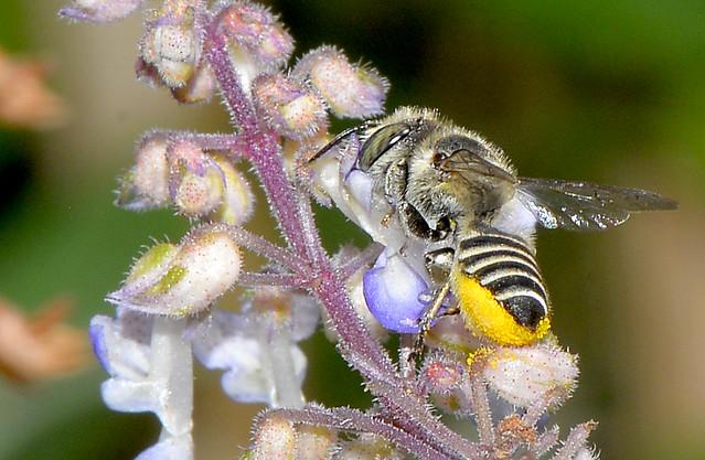 Leaf cutter native bee