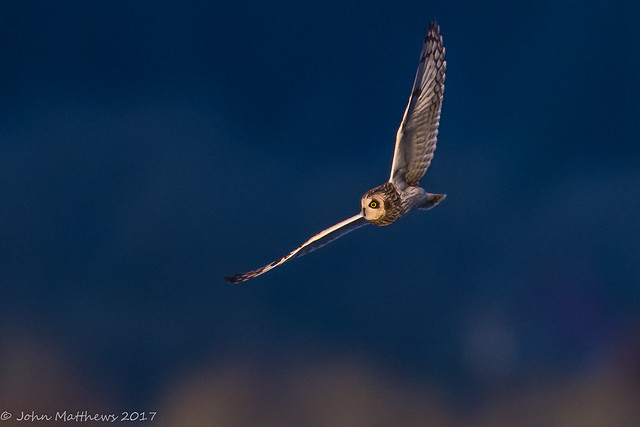 Short-eared Owl-6790.jpg, Canon EOS 7D MARK II, Canon EF 600mm f/4L IS
