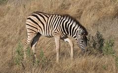 Plains Zebra  (14)