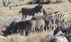 Plains Zebra  (4)