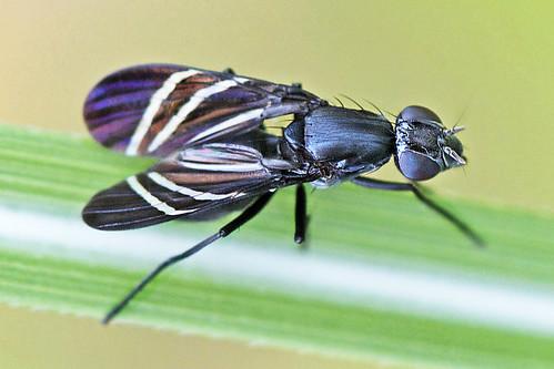tritoxaflexa blackonionfly picturewingedfly naturephotosbydavewendelken nikkor105mmf28gvrmicro