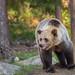 Brown Bear (Roger Cave)