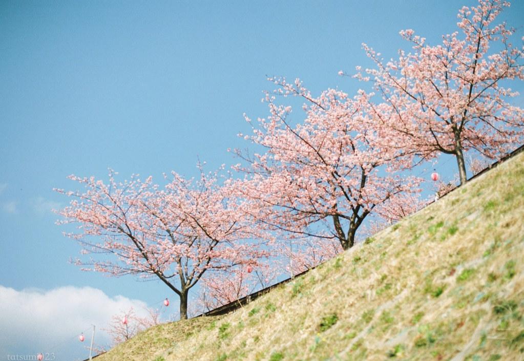 2018-03-17 河津桜とPORTRA160 005