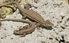 Catalan Wall Lizards (Podarcis liolepis)