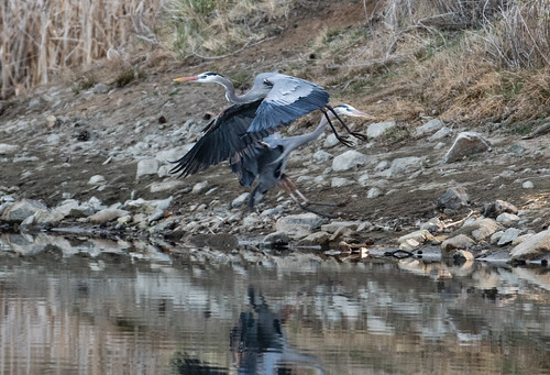 blue_heron_near_collision-20180411-100