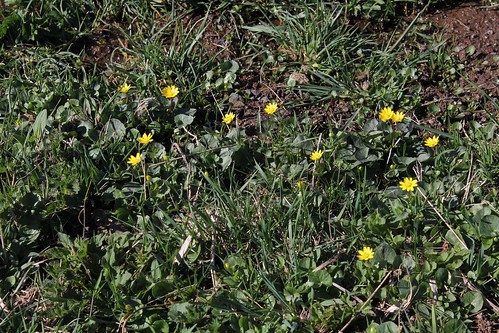 Ficaria verna (= Ranunculus ficaria) - ficaire - Page 2 40714620825_29f8d9ae26