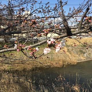 3月23日 矢那川の桜
