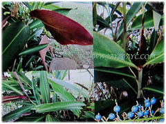 Collage of foliage and blue berries of Alpinia caerulea 'Atherton Ginger' (Red Back Australian Ginger, Blue Ginger, Native Ginger) March 27 2018