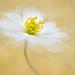 Bridal Flower by sophiaspurgin