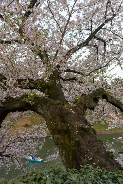 Cherry Blossoms(千鳥ヶ淵), Nikon 1 V3, 1 NIKKOR VR 10-30mm f/3.5-5.6 PD-ZOOM