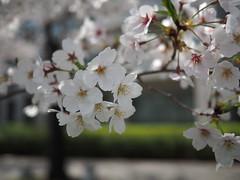 Cherry blossoms (sakura) at Sumida river