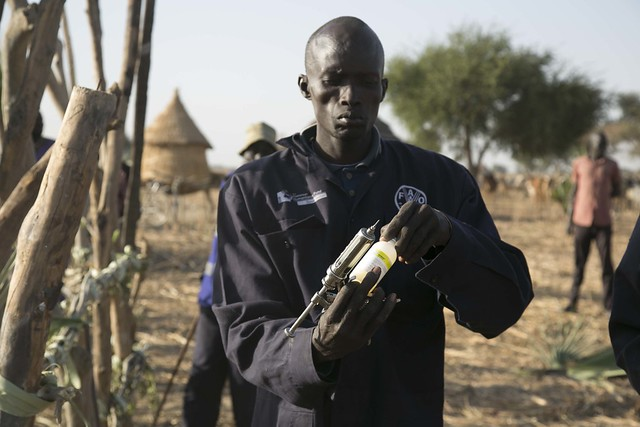 South Sudan: biggest livestock vaccination underway in the country's greatest times of need