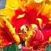 Tulip Glamor by kathy koch