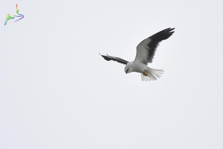 Black-winged_Kite_2456