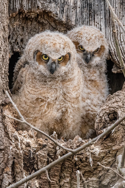 Great Horned Owlets Explored, Nikon D500, Sigma 150-600mm F5-6.3 DG OS HSM   S