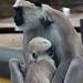 <p><a href=&quot;http://www.flickr.com/people/layzee66/&quot;>layzee66</a> posted a photo:</p>&#xA;&#xA;<p><a href=&quot;http://www.flickr.com/photos/layzee66/41500326851/&quot; title=&quot;Langur Monkey2&quot;><img src=&quot;http://farm1.staticflickr.com/811/41500326851_1ba29007e3_m.jpg&quot; width=&quot;160&quot; height=&quot;240&quot; alt=&quot;Langur Monkey2&quot; /></a></p>&#xA;&#xA;