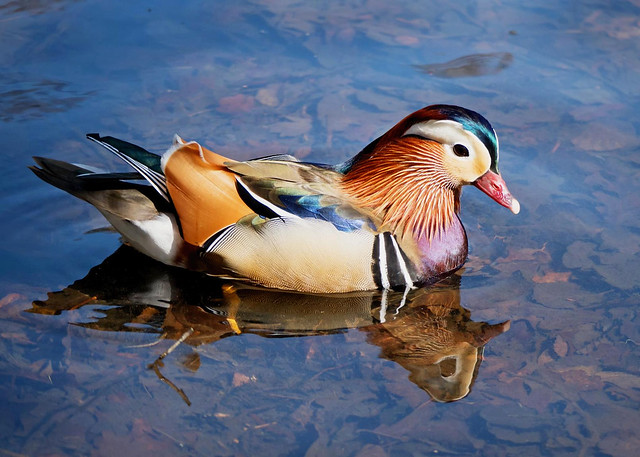Mandarin Duck WH 18th April 2018
