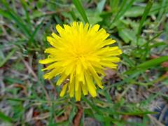 A Bright Yellow Dandelion.