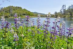 lakeflowers