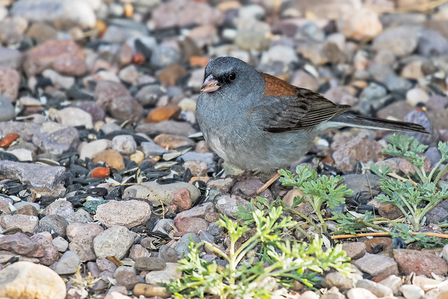 Dark-eyed-Junco-5-7D2-041918