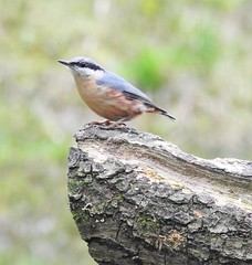 Nuthatch - Thornley Woods Hide