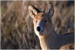 HolderWater Deer Portrait.