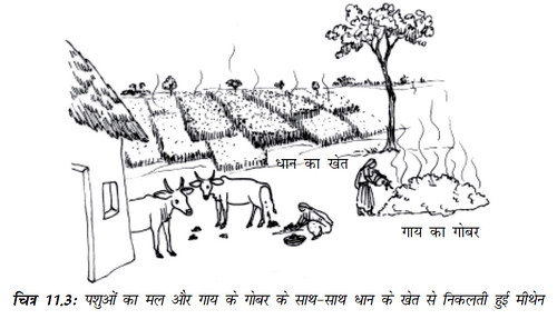 चित्र 11.3 पशुओं का मल और गाय के गोबर के साथ-साथ धान के खेत से निकलती हुई मीथेन