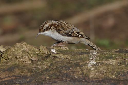 barnwellcountrypark northamptonshire wild wildlife nature bird certhiafamiliaris treecreeper
