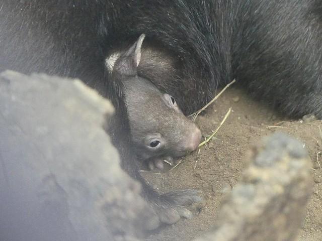 Babywombat, Zoo Duisburg